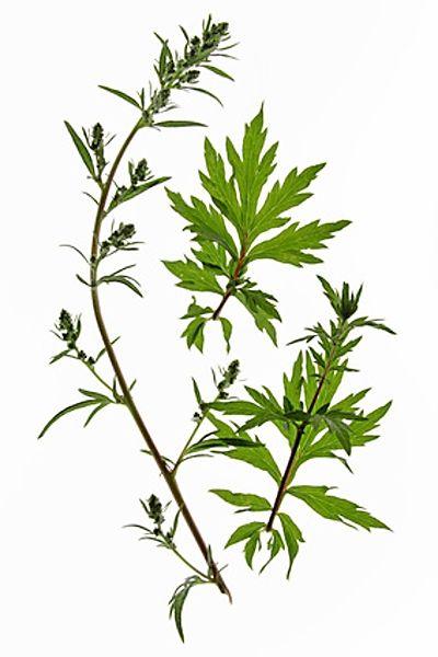 Černobyl (Latinsky: Artemisia vulgaris)