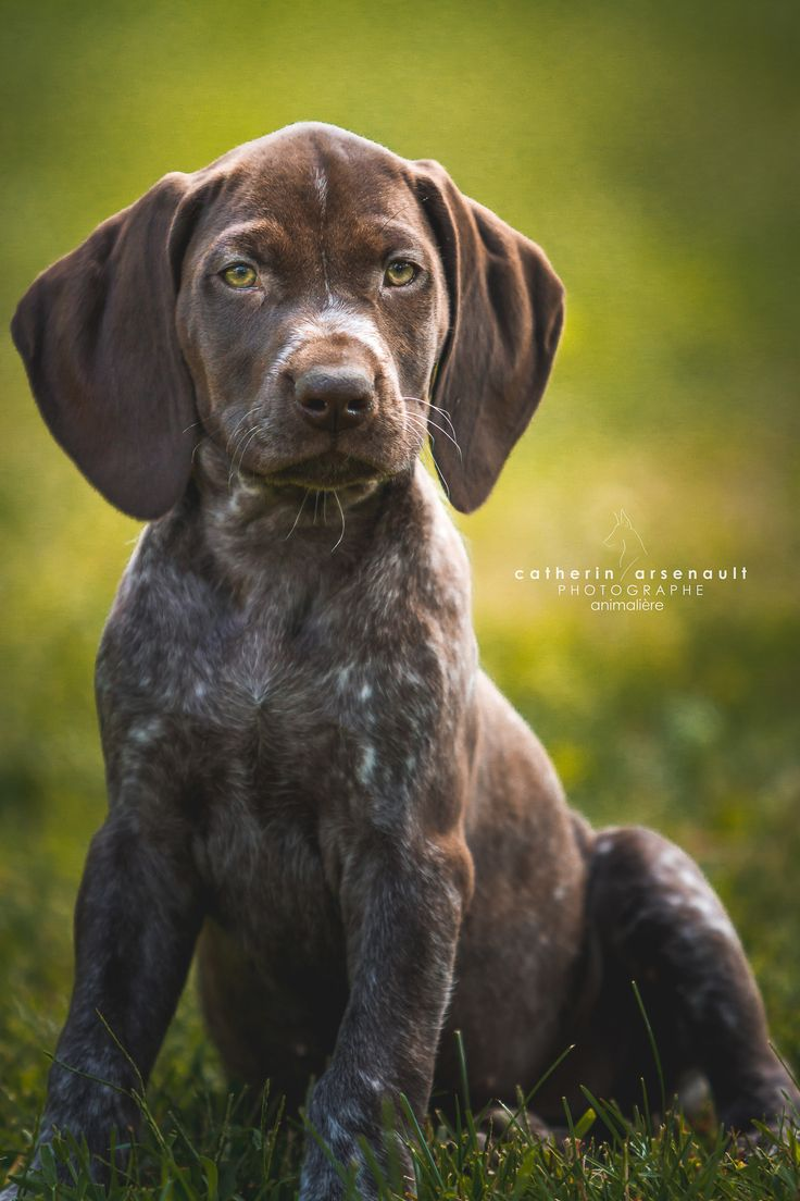 puppy portrait by catherin arsenault on 500px  #German Shorthaired Pointer #puppy #dog photography  Follow me on https://www.facebook.com/catherinarsenaultphotographe  www.catherinarsenault.com