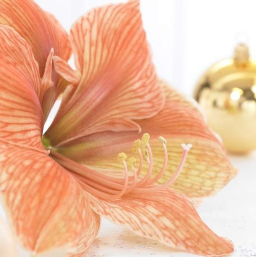 1000 images about holiday bulb catalog on pinterest for Amaryllis sweet pink