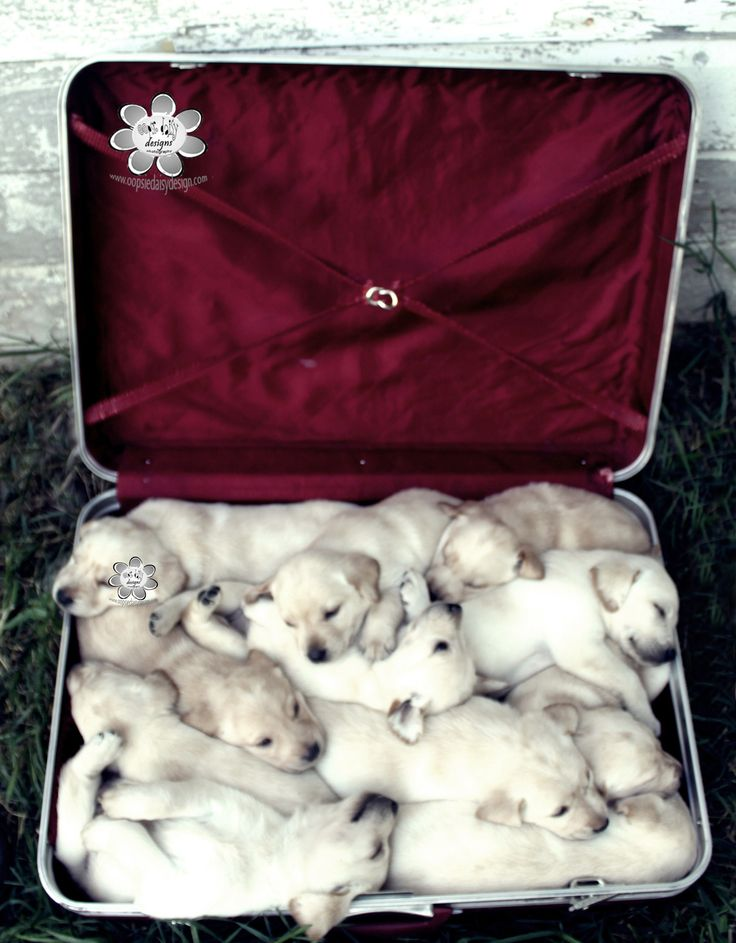 One Sweet Delivery - 11 Labrador Puppies!