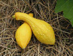 Eko, sommarsquash Yellow Crookneck,  En annorlunda, lite senare sort med fast & smörigt kött. Ger lite mindre avkastning än de andra (tror jag). Den godaste sommarsquashen enligt många. 6kr