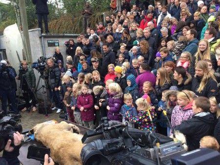 В датском зоопарке устроили публичное вскрытие льва