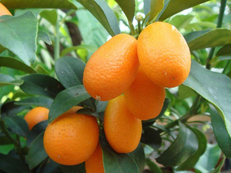 SOUND: http://www.ruspeach.com/en/news/10544/     Кумкват также известен как японский апельсин. Это цитрусовый фрукт, который растет на Юге Китая, на греческом острове Корфу и в тропических странах. Кумкват употребляют как в сыром, так и в приготовленном виде (цукаты, варенье, мармелад