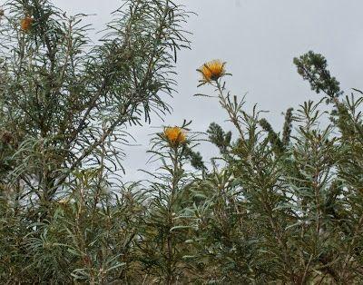 Golden Dryandra