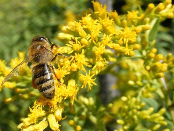 over 100 Seeds Solidago canadensis bees di HoneyTreeandBehind