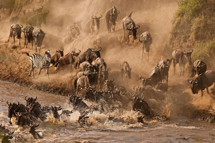 Mara River, Kenya is definitely worth a visit during the time of the wildebeest migration. Watch the large herd cross the Mara River while battling hungry crocodiles.