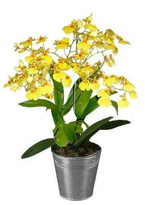 Paixão por orquídeas - Meu orquidário: Guia da Oncidium