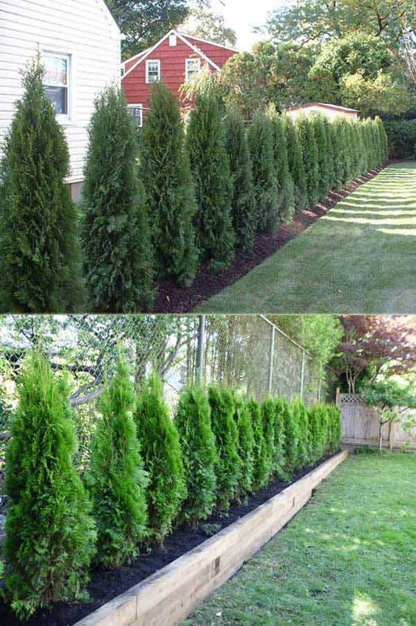 25 beautiful arborvitae landscaping ideas on pinterest for Backyard privacy landscaping trees