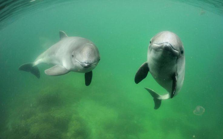 Porpoises could derail world's biggest offshore wind farm