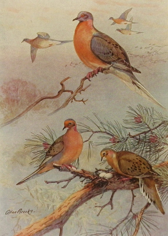 1930s Passenger Pigeon Bird Print, Antique Bird Illustration Art (Allan Brooks Book Plate 253-1)