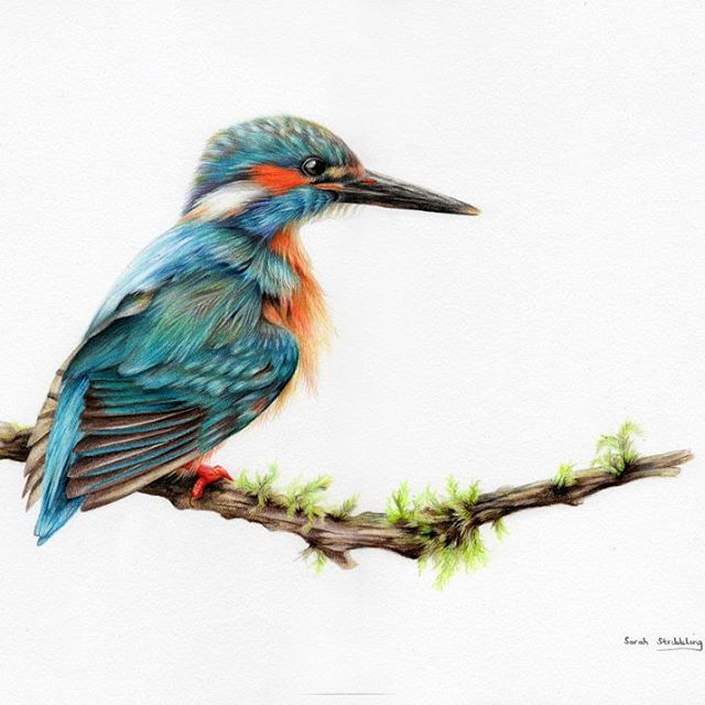Kingfisher colour pencil drawing using polychromos