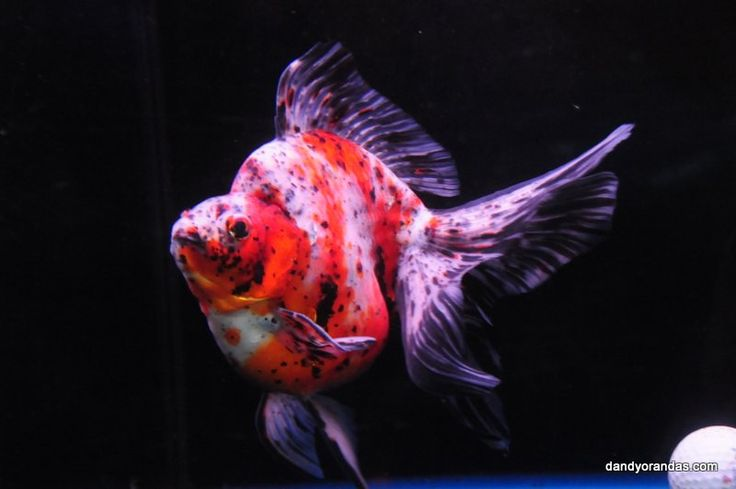 139 best images about ryukin goldfish on pinterest for Calico koi fish