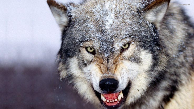 Wolf Free HD Wallpapers and Backgrounds Download (43)  http://www.urdunewtrend.com/hd-wallpapers/animal/wolf/wolf-free-hd-wallpapers-and-backgrounds-download-43/ wolf 10] 10K 12 rabi ul awal 12 Rabi ul Awal HD Wallpapers 12 Rabi ul Awwal Celebration 3D 12 Rabi ul Awwal Images Pictures HD Wallpapers 12 Rabi ul Awwal Pictures HD Wallpapers 12 Rabi ul Awwal Wallpapers Images HD Pictures 19201080 12 Rabi ul Awwal Desktop HD Backgrounds. One HD Wallpapers You Provided Best Collection Of Images 22…