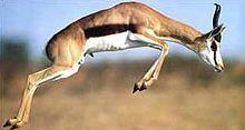 """Springbock """"Der Springbock (Antidorcas marsupialis)(  跳羚) สปริงบ็อก)(Springbok) (Le Springbok)  ist eine afrikanische Antilope aus der Gruppe der Gazellenartigen. """" (Krügerrand);"""