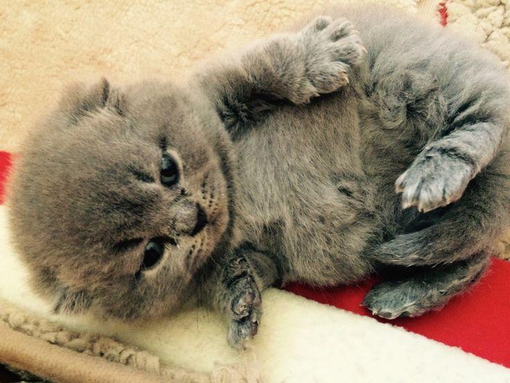 British Kurzhaar (BKH Blau) Kitten mit... (Bad Rappenau) - Blau (BKH) - Deine-Tierwelt.de