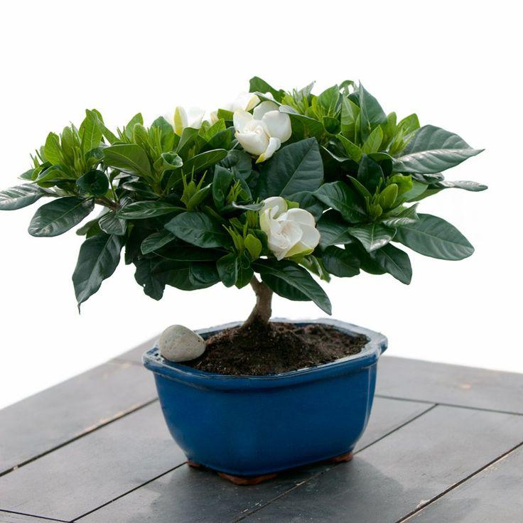 inspiring gardenia house plant. Fragrant Gardenia Bonsai  Tree Flowering Plant Live Green Gift Cut Flower Alternative Ships fast via Air 10 best images on Pinterest Gardenias Flowers garden and