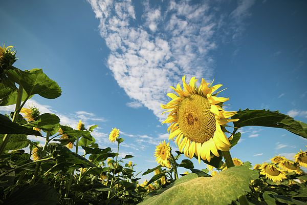 Sunflowers in the field. Sun and life in the fields.