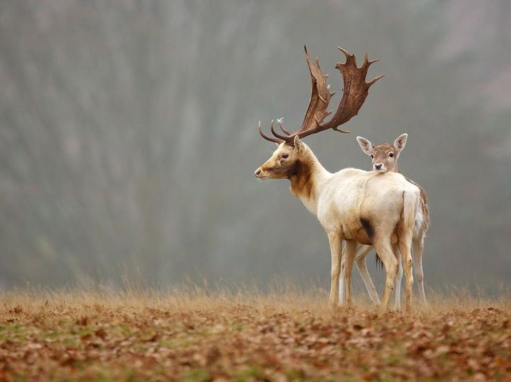 Fallow Deer, England Photograph by Mark Bridger, National Geographic Your Shot In England, a fallow deer fawn stays close to a buck. Dama dama isn't native to the U.K.; the species is thought to have been introduced to Britain by the Normans in the 11th century. Today it's widespread in England and Wales.