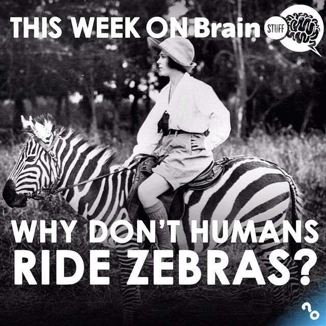 """They're just horses with stripes, right? So why don't we ride them around like Seabiscuit or Black Beauty? Tune in to BrainStuff on @itunes podcasts for """"Why don't humans ride zebras?"""""""