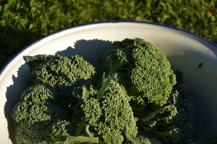 Odla Broccoli ©HojnaSandra - Trädgårdsliv-Friluftsliv-Vardagsliv