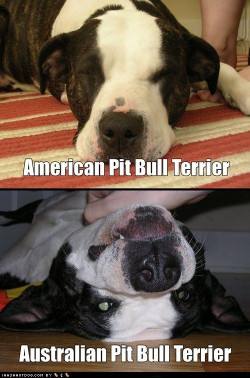 Funny Pitbull Pictures with Captions | ... pit bull ...