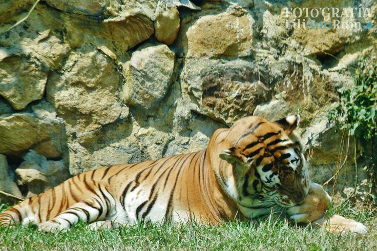 Tigre de bengala, bengal tiger