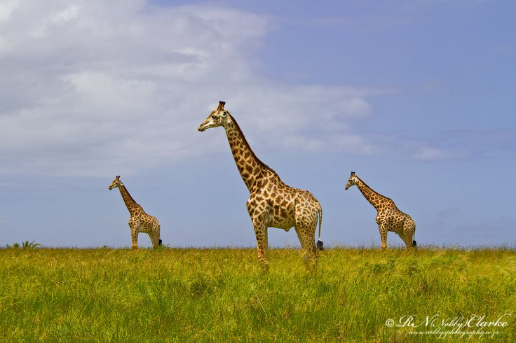Also taken at Western Shores - iSimangaliso Wetland Park - Giraffe symmetry
