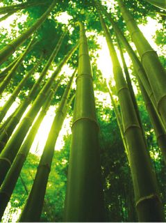 Dravid's Bamboo tree.