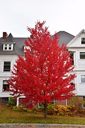 Click to view full-size photo of Sun Valley Red Maple (Acer rubrum 'Sun Valley') at Oakland Nurseries Inc