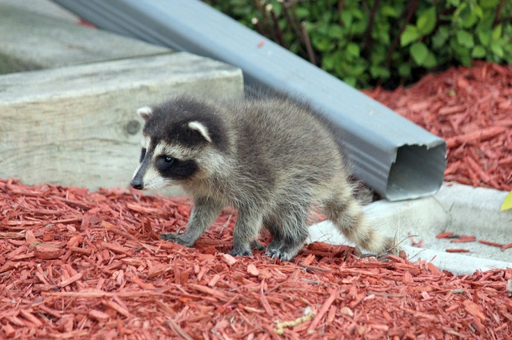 I know that someday this animal will grow up and chew its way into my garbage cans and make a mess, but raccoon babies are pretty cute!!!