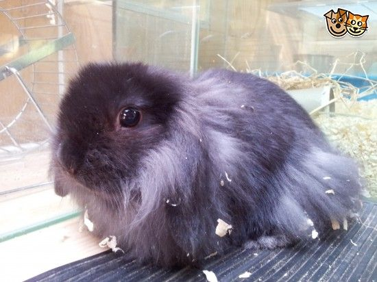 http://www.pets4homes.co.uk/classifieds/355163-lionhead-x-mini-lop-baby-rabbits-for-sale-ripon.html