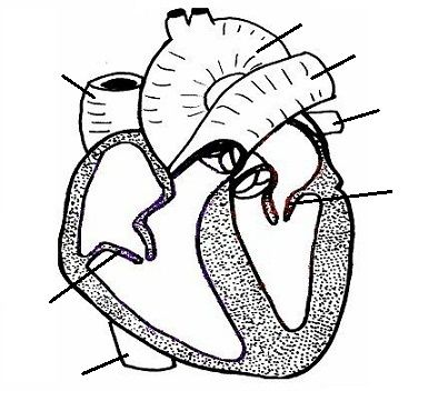 rat circulatory system