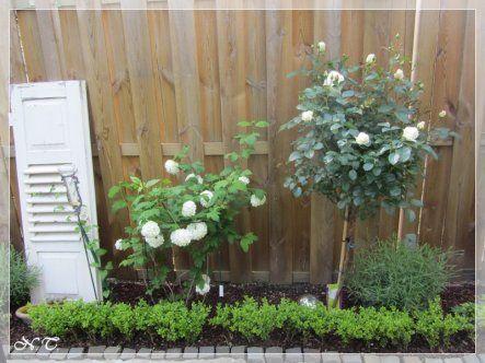 Frühjahr 2014 - Alter Schlagladen mit Schneeball und weißem Rosenstämmchen im linken Seitenbeet