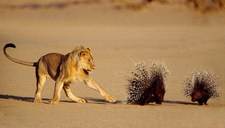 Auch wenn die Berührung des Stachelschweins für den Löwen nicht sofort tödlich endet, sieht man dem Raubtier den Respekt vor den langen Stacheln deutlich an. Mit dieser Szene gewann 1993 Barrie Wilkins.