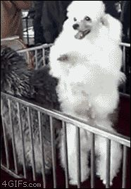 """""""""""When the play your favorite song on radio!! """"""""Lol!!   This dancing poodle. 