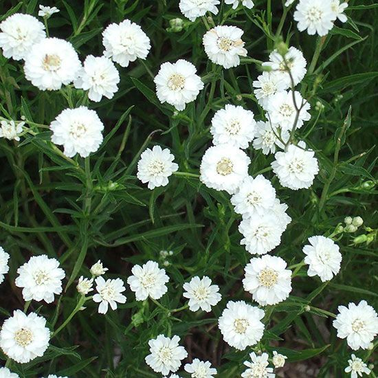 Sneezewort Achillea Ptarmica Has The Unfortunate Common Name Of Or Sneezeweed It Is Also