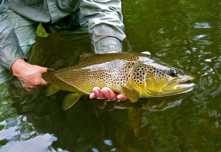 17 best images about fish found in ohio on pinterest for Trout fishing in ohio