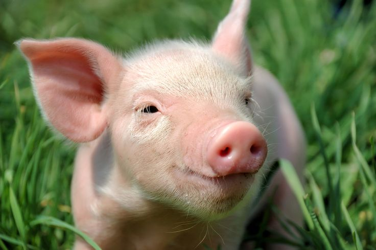 Hey Babe! - Cute faming Pig