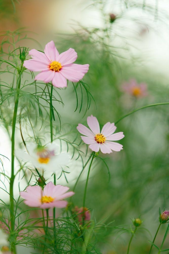 Earn 25 Commission Cosmos Flowers Beautiful Flowers Flowers