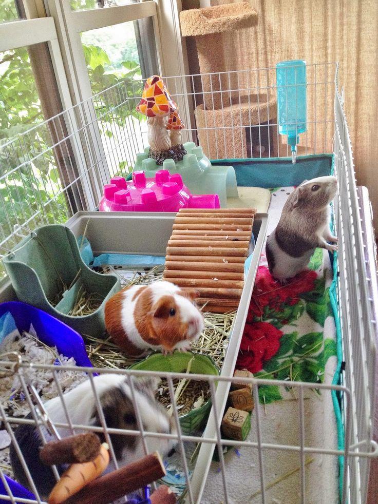 17 Best Images About Guinea Pig Ideas On Pinterest Cavy