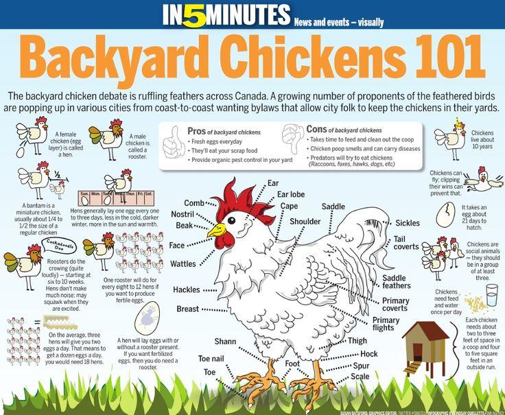 Backyard Chickens 101 - infographic