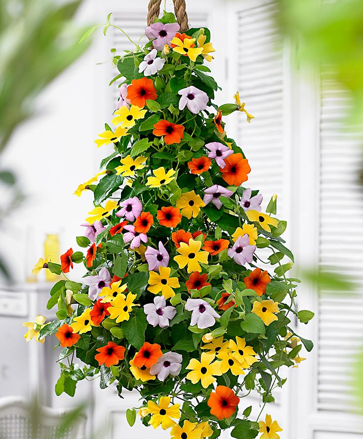 Black Eyed Susan Vine (Thunbergia). Love all the colors mixed together...I need to find that pink/lavender one!