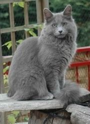 nebelung cat | Nebelung Cat - History of the Longhaired Russian Blue