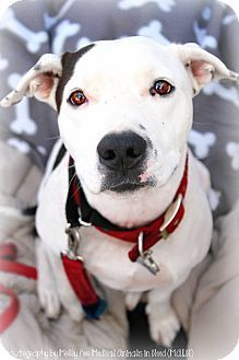 Phoenix, AZ - PIPPY STILL NEEDS A HOME!! Labrador Retriever/Pit Bull Terrier Mix. Meet Pippy a Dog for Adoption.