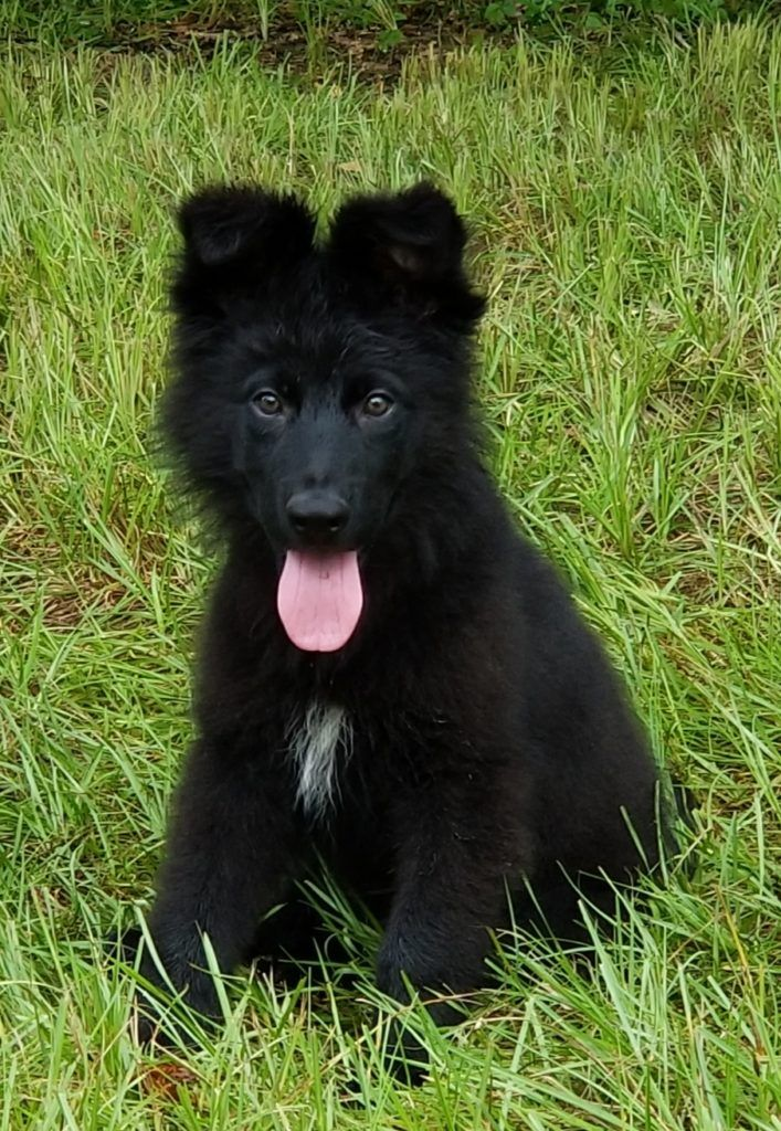 For Sale German Shepherds for sale in Florida in 2020