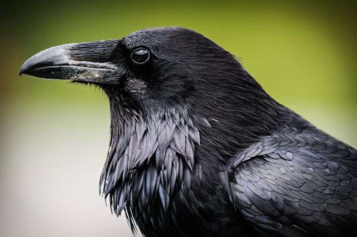 10 Fascinating Facts About Ravens   http://mentalfloss.com/article/53295/10-fascinating-facts-about-ravens