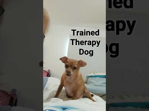 Dinky The Chiweenie Therapy Dog Model Actor Youtube