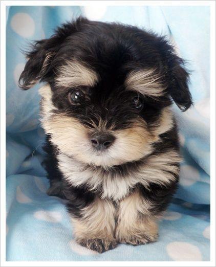 Phantom marked Havanese puppy