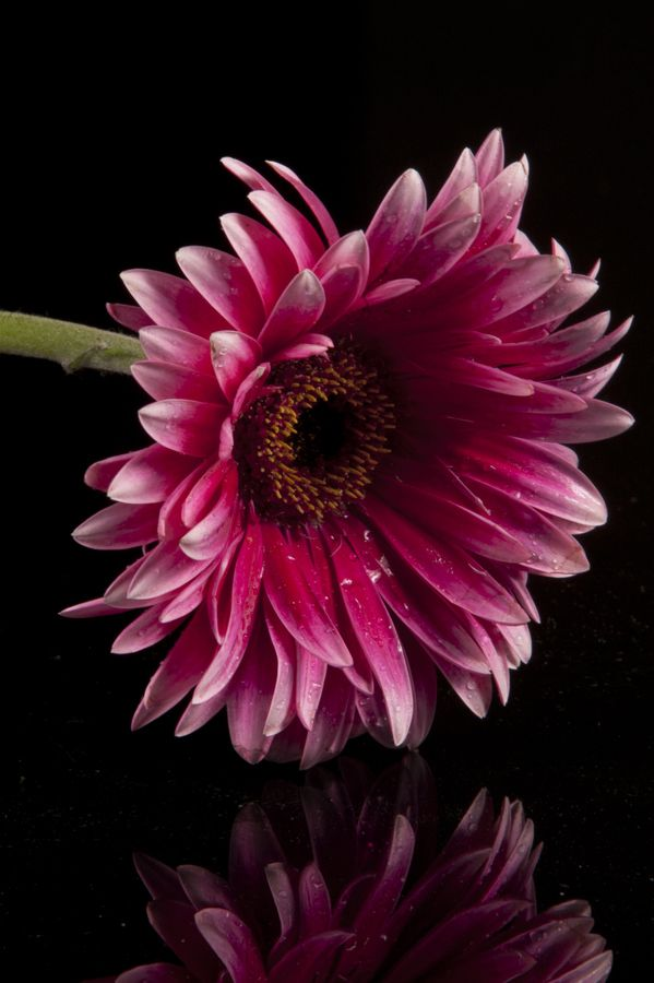 .if anyone knows me i love flowers for different reasons… this is my favorite favorite  flower… the gerber daisy