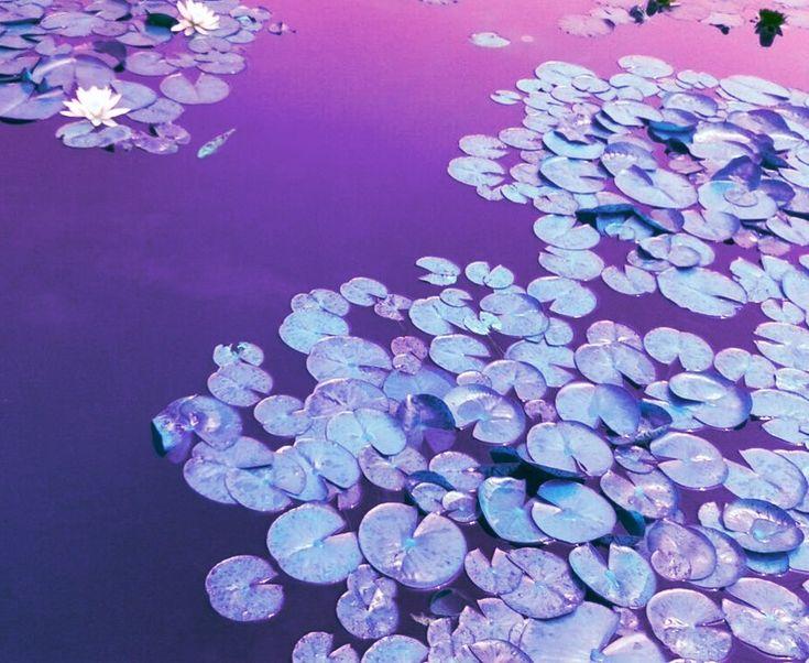 lotus water violet purple aesthetic nature
